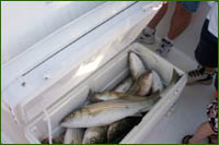 How to catch striped bass on Lake Buchanan in the Highland Lakes area of Central Texas